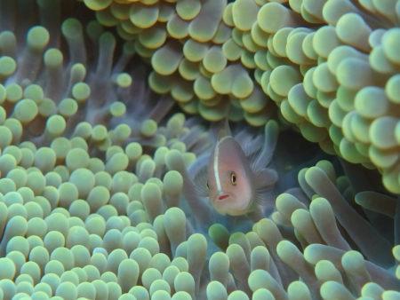 セジロクマノミ幼魚
