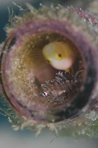 シマヒメヤマノヤミ幼魚