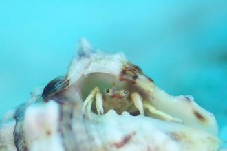 サンゴヤドカリの仲間