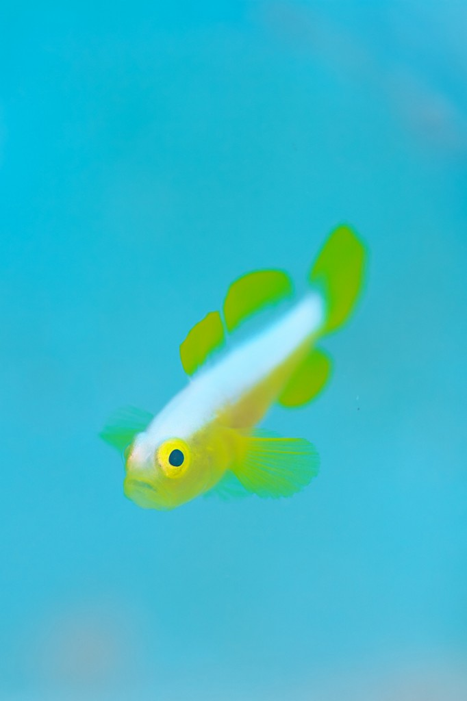 ナカモトイロワケハゼ・幼魚