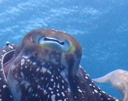 コブシメの目
