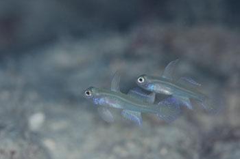モエギハゼ幼魚