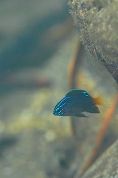 スミゾメスズメダイ幼魚