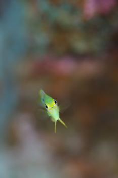 ニセネッタイスズメダイ幼魚