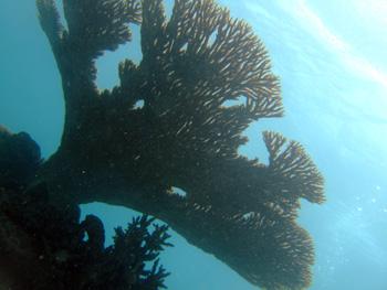 下から見上げたサンゴ