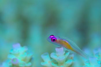 シコクスズメダイ幼魚