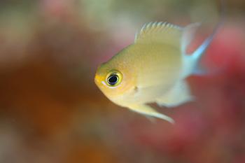 マルスズメダイ幼魚