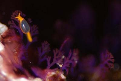海藻とツユダマガイ