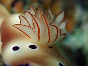 ウミウシの鰓