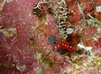 チゴベニハゼ幼魚