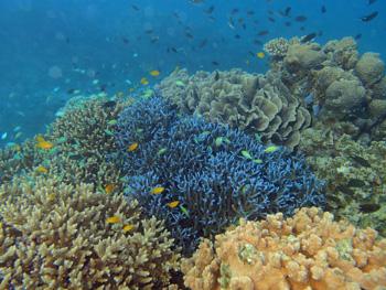 名蔵湾のサンゴ