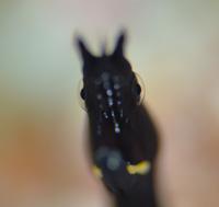 ハナヒゲウツボ幼魚