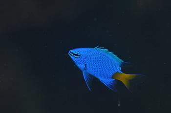 シリキルリスズメダイ幼魚