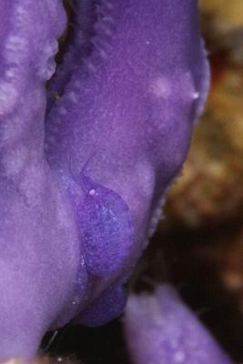 紫色のヨコエビの仲間