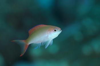 カシワハナダイ幼魚