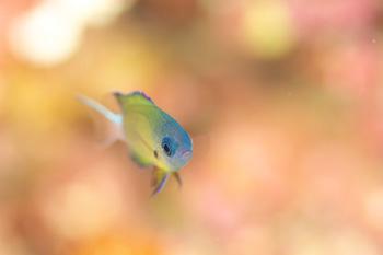 オジロスズメダイ幼魚