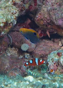 スズメダイとベラの幼魚