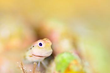 イシガキカエルウオ幼魚