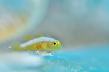 ナカモトイロワケハゼ幼魚