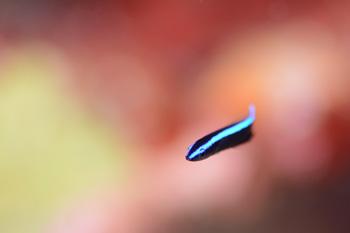 ホンソメワケベラ幼魚