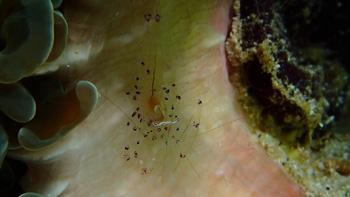 イソカクレエビ属の一種