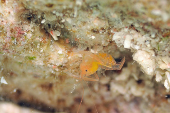 ベニマトイサンゴヒメエビ