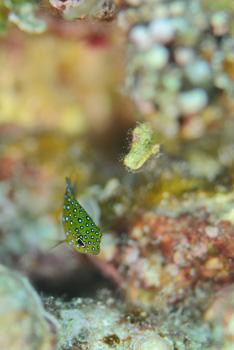 ルシホシスズメダイ幼魚