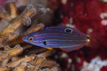 ムナテンベラ若魚