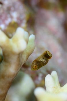 シマタレクチベラ幼魚