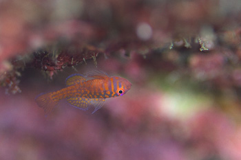 オキナワベニハゼ幼魚