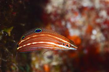 ニシキキュウセン若魚