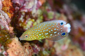 ホシススキベラ幼魚