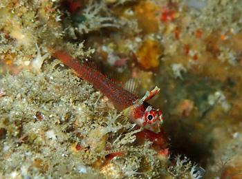 セラトブレグマ属の一種幼魚
