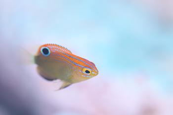メガネスズメダイ幼魚