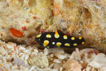 ヌノサラシ幼魚