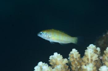 セナスジベラ幼魚
