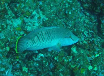 ナポレオンフィッシュ幼魚