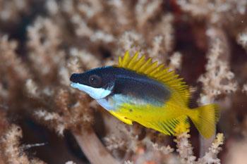 ヒフキアイゴ幼魚