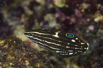 カノコベラ幼魚