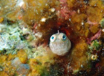 ヒナギンポ幼魚