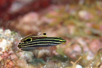 キンセンハゼ幼魚