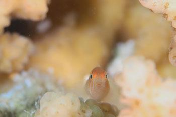 タスジコバンハゼ幼魚