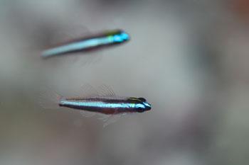 オヨギイソハゼ幼魚