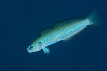 ゼブラハゼ幼魚