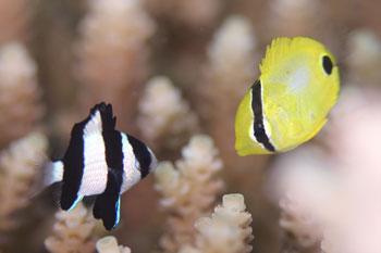 ミスジリュウキュウスズメダイとイッテンチョウチョウウオ幼魚