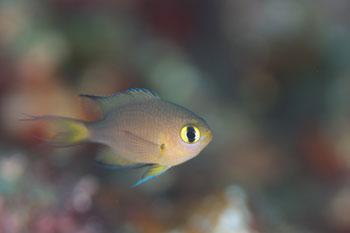 ヒレグロスズメダイ幼魚