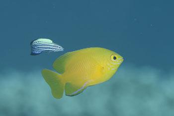 ネッタイスズメダイとミヤケベラ幼魚