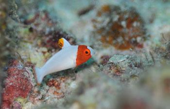 イロブダイ用魚