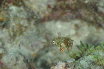 シチセンムズスメベラ幼魚