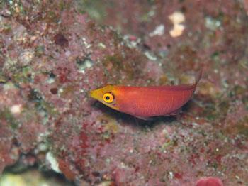 ヨコシマニセモチノウオ幼魚